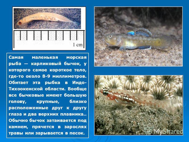Самая маленькая морская рыба карликовый бычок, у которого самое короткое тело, где-то около 8-9 миллиметров. Обитает эта рыбка в Индо- Тихоокенской области. Вообще все бычковые имеют большую голову, крупные, близко расположенные друг к другу глаза и
