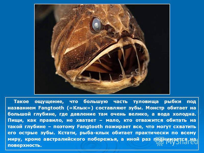 Такое ощущение, что большую часть туловища рыбки под названием Fangtooth («Клык») составляют зубы. Монстр обитает на большой глубине, где давление там очень велико, а вода холодна. Пищи, как правило, не хватает – мало, кто отважится обитать на такой