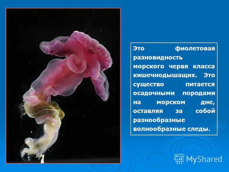 Это фиолетовая разновидность морского червя класса кишечнодышащих. Это существо питается осадочными породами на морском дне, оставляя за собой разнообразные волнообразные следы.