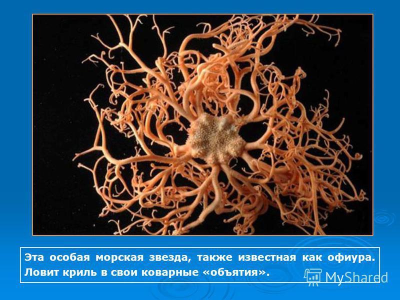Эта особая морская звезда, также известная как офиура. Ловит криль в свои коварные «объятия».