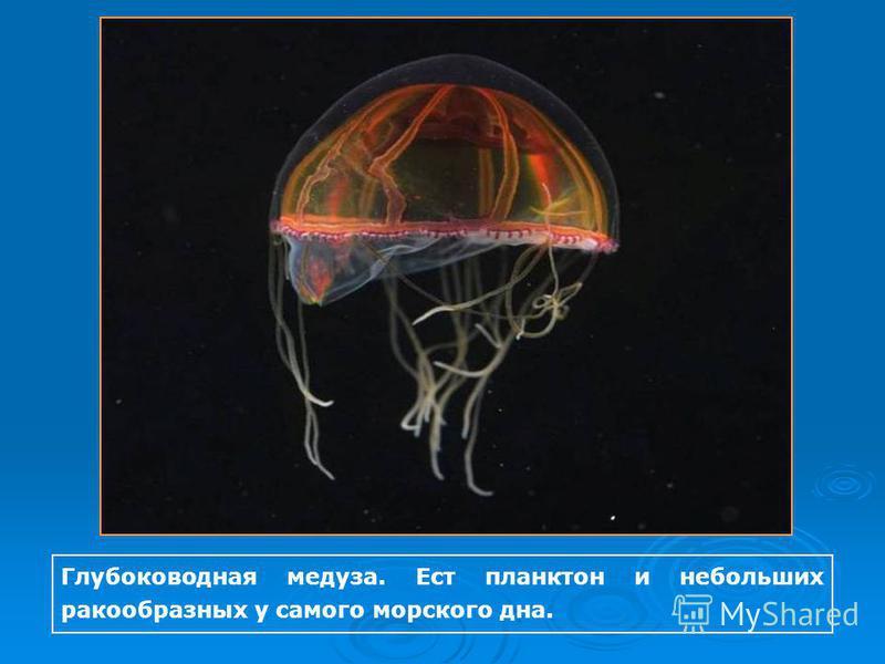 Глубоководная медуза. Ест планктон и небольших ракообразных у самого морского дна.