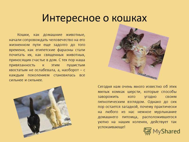 Интересное о кошках Кошки, как домашние животные, начали сопровождать человечество на его жизненном пути еще задолго до того времени, как египетские фараоны стали почитать их, как священных животных, приносящих счастье в дом. С тех пор наша привязанн