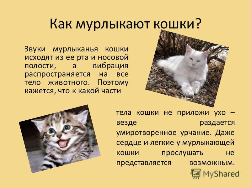 Как мурлыкают кошки? Звуки мурлыканья кошки исходят из ее рта и носовой полости, а вибрация распространяется на все тело животного. Поэтому кажется, что к какой части тела кошки не приложи ухо – везде раздается умиротворенное урчание. Даже сердце и л