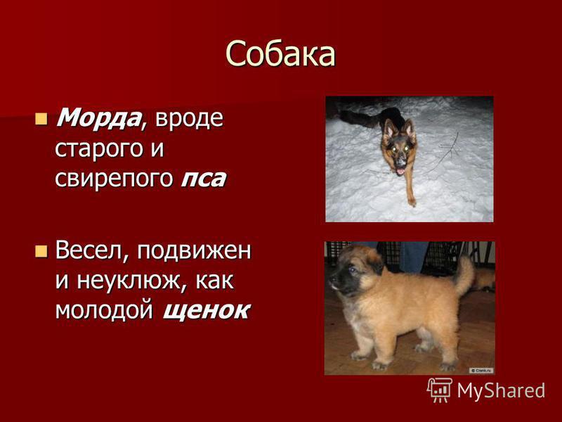 Собака Морда, вроде старого и свирепого пса Морда, вроде старого и свирепого пса Весел, подвижен и неуклюж, как молодой щенок Весел, подвижен и неуклюж, как молодой щенок