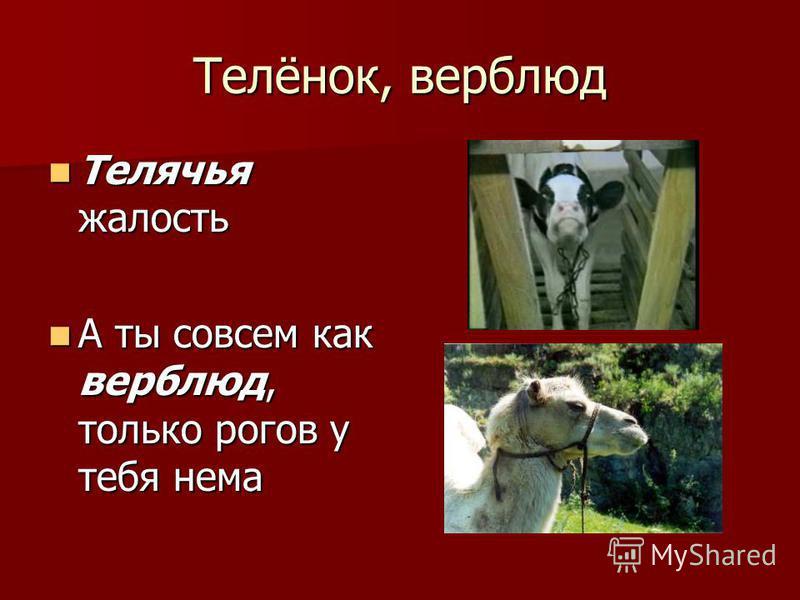 Телёнок, верблюд Телячья жалость Телячья жалость А ты совсем как верблюд, только рогов у тебя нема А ты совсем как верблюд, только рогов у тебя нема