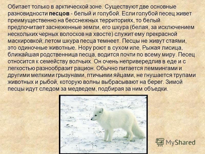 Обитает только в арктической зоне. Существуют две основные разновидности песцов - белый и голубой. Если голубой песец живет преимущественно на бесснежных территориях, то белый предпочитает заснеженные земли, его шкура (белая, за исключением нескольки