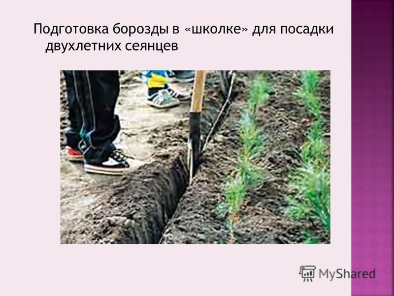 Подготовка борозды в «школке» для посадки двухлетних сеянцев