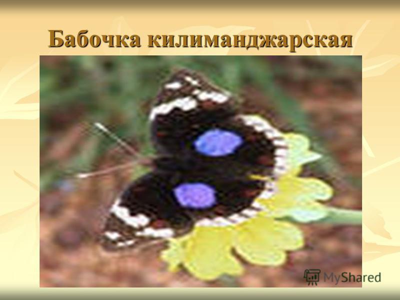 Бабочка килиманджарская