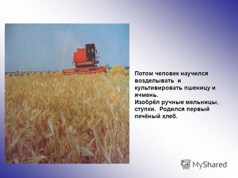 Потом человек научился возделывать и культивировать пшеницу и ячмень. Изобрёл ручные мельницы, ступки. Родился первый печёный хлеб.