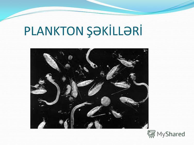 PLANKTON ŞƏKİLLƏRİ