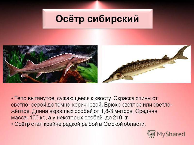 Осётр сибирский Тело вытянутое, сужающееся к хвосту. Окраска спины от светло- серой до тёмно-коричневой. Брюхо светлое или светло- жёлтое. Длина взрослых особей от 1,8-3 метров. Средняя масса- 100 кг., а у некоторых особей- до 210 кг. Осётр стал край