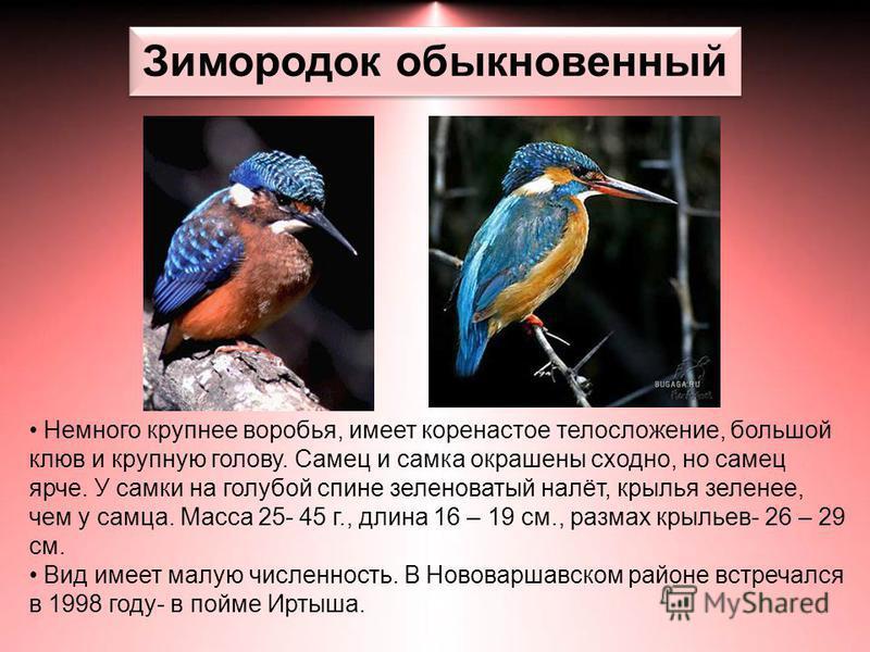 Зимородок обыкновенный Немного крупнее воробья, имеет коренастое телосложение, большой клюв и крупную голову. Самец и самка окрашены сходно, но самец ярче. У самки на голубой спине зеленоватый налёт, крылья зеленее, чем у самца. Масса 25- 45 г., длин