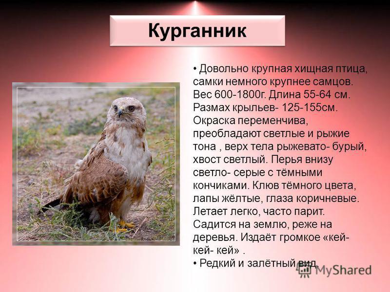 Курганник Довольно крупная хищная птица, самки немного крупнее самцов. Вес 600-1800 г. Длина 55-64 см. Размах крыльев- 125-155 см. Окраска переменчива, преобладают светлые и рыжие тона, верх тела рыжевато- бурый, хвост светлый. Перья внизу светло- се