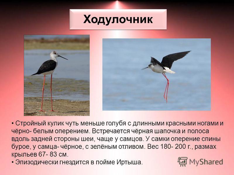 Ходулочник Стройный кулик чуть меньше голубя с длинными красными ногами и чёрно- белым оперением. Встречается чёрная шапочка и полоса вдоль задней стороны шеи, чаще у самцов. У самки оперение спины бурое, у самца- чёрное, с зелёным отливом. Вес 180-