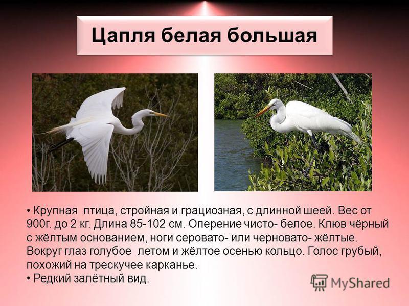 Цапля белая большая Крупная птица, стройная и грациозная, с длинной шеей. Вес от 900 г. до 2 кг. Длина 85-102 см. Оперение чисто- белое. Клюв чёрный с жёлтым основанием, ноги серовато- или черновато- жёлтые. Вокруг глаз голубое летом и жёлтое осенью