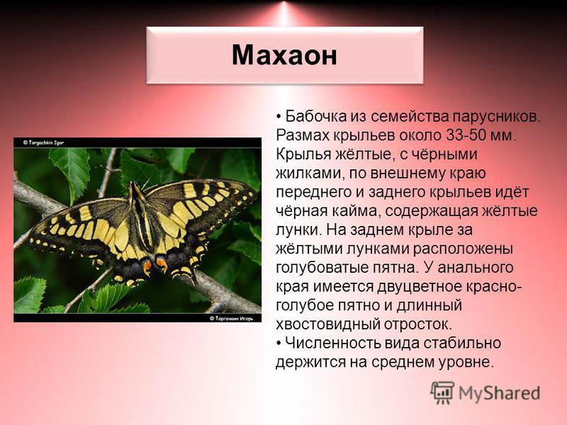 Махаон Бабочка из семейства парусников. Размах крыльев около 33-50 мм. Крылья жёлтые, с чёрными жилками, по внешнему краю переднего и заднего крыльев идёт чёрная кайма, содержащая жёлтые лунки. На заднем крыле за жёлтыми лунками расположены голубоват