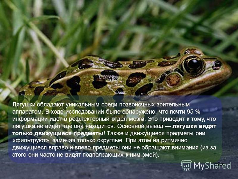 Лягушки обладают уникальным среди позвоночных зрительным аппаратом. В ходе исследований было обнаружено, что почти 95 % информации идёт в рефлекторный отдел мозга. Это приводит к тому, что лягушка не видит, где она находится. Основной вывод лягушки в