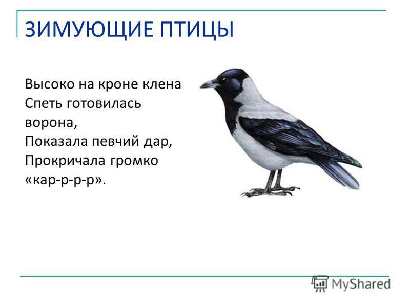 Высоко на кроне клена Спеть готовилась ворона, Показала певчий дар, Прокричала громко «кар-р-р-р». ЗИМУЮЩИЕ ПТИЦЫ