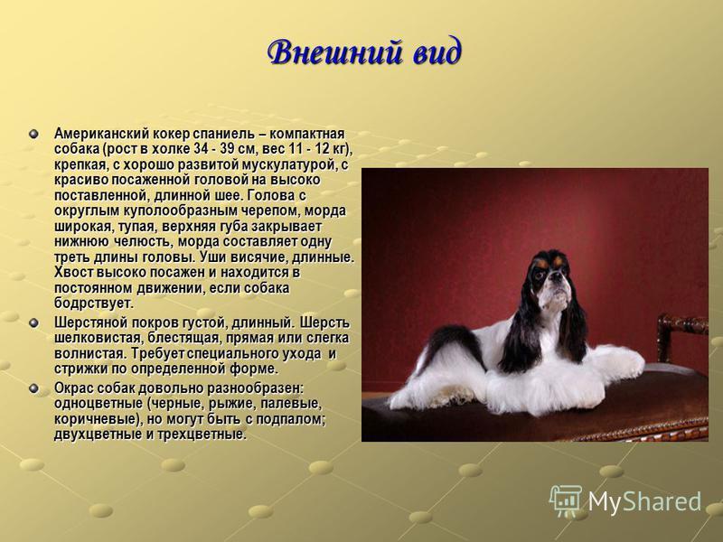 Внешний вид Американский кокер спаниель – компактная собака (рост в холке 34 - 39 см, вес 11 - 12 кг), крепкая, с хорошо развитой мускулатурой, с красиво посаженной головой на высоко поставленной, длинной шее. Голова с округлым куполообразным черепом