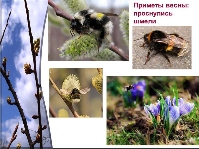 Приметы весны: проснулись шмели