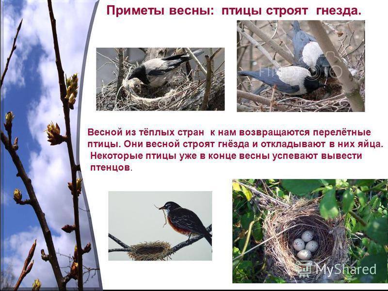 Приметы весны: птицы строят гнезда. Весной из тёплых стран к нам возвращаются перелётные птицы. Они весной строят гнёзда и откладывают в них яйца. Некоторые птицы уже в конце весны успевают вывести птенцов.