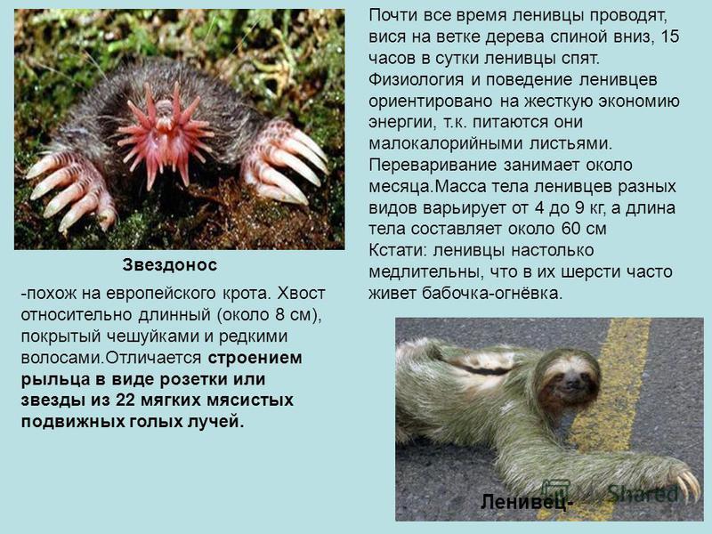 Звездонос -похож на европейского крота. Хвост относительно длинный (около 8 см), покрытый чешуйками и редкими волосами.Отличается строением рыльца в виде розетки или звезды из 22 мягких мясистых подвижных голых лучей. Ленивец- Почти все время ленивцы