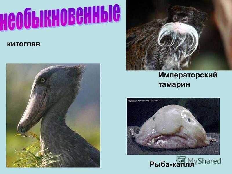 Императорский тамарин китоглав Рыба-капля