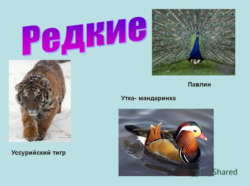 Уссурийский тигр Павлин Утка- мандаринка
