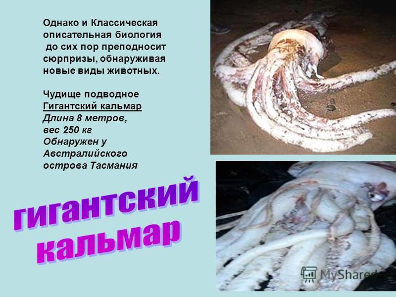 Однако и Классическая описательная биология до сих пор преподносит сюрпризы, обнаруживая новые виды животных. Чудище подводное Гигантский кальмар Длина 8 метров, вес 250 кг Обнаружен у Австралийского острова Тасмания