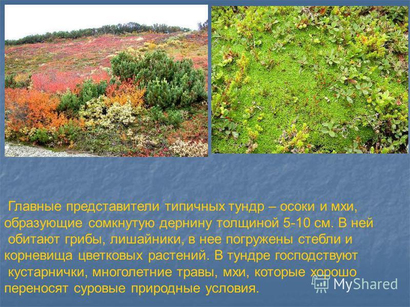 Главные представители типичных тундр – осоки и мхи, образующие сомкнутую дернину толщиной 5-10 см. В ней обитают грибы, лишайники, в нее погружены стебли и корневища цветковых растений. В тундре господствуют кустарнички, многолетние травы, мхи, котор
