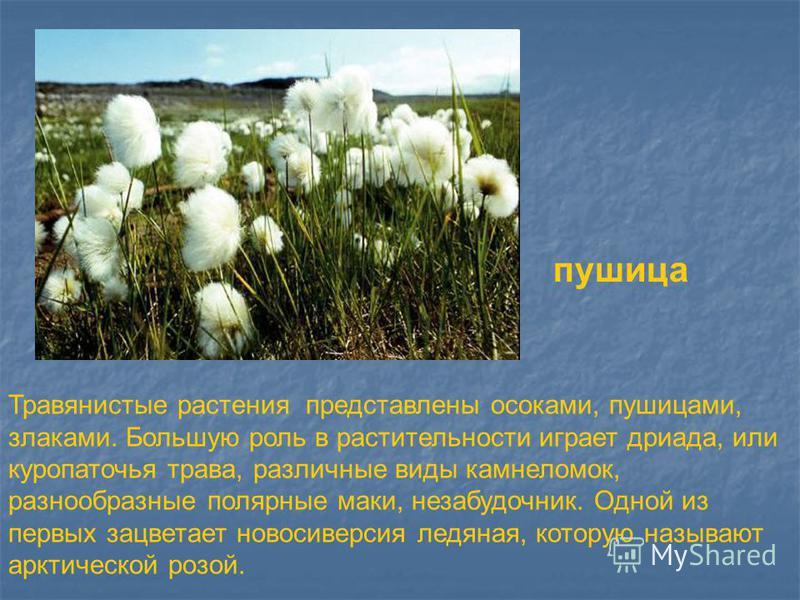 Травянистые растения представлены осоками, пушицами, злаками. Большую роль в растительности играет дриада, или куропаточья трава, различные виды камнеломок, разнообразные полярные маки, незабудочник. Одной из первых зацветает новости версия ледяная,