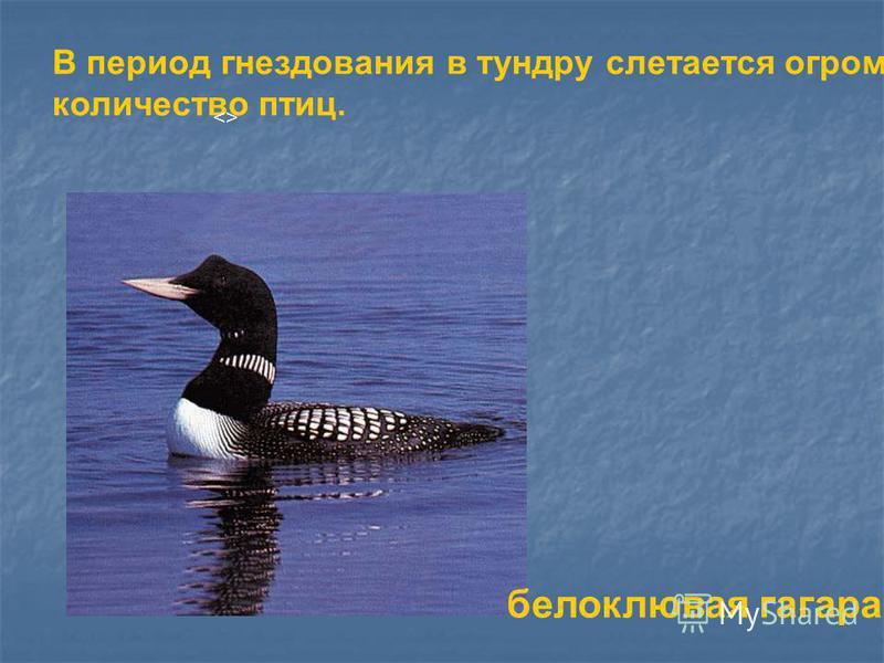 В период гнездования в тундру слетается огромное количество птиц. <> белоклювая гагара
