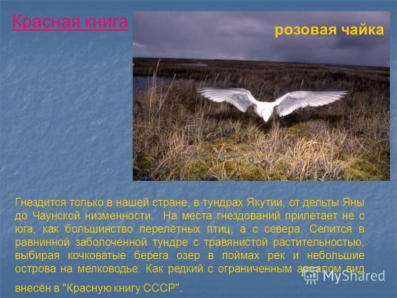 розовая чайка Гнездится только в нашей стране, в тундрах Якутии, от дельты Яны до Чаунской низменности. На места гнездований прилетает не с юга, как большинство перелётных птиц, а с севера. Селится в равнинной заболоченной тундре с травянистой растит