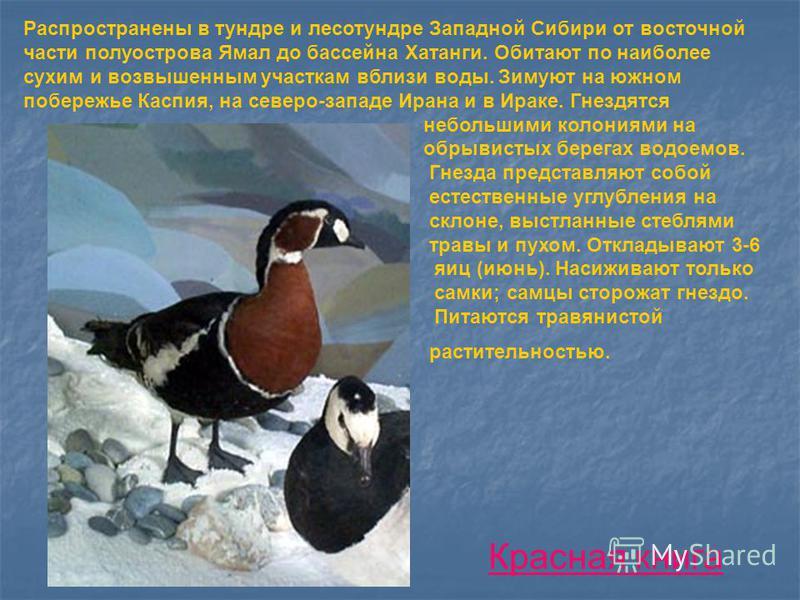 Распространены в тундре и лесотундре Западной Сибири от восточной части полуострова Ямал до бассейна Хатанги. Обитают по наиболее сухим и возвышенным участкам вблизи воды. Зимуют на южном побережье Каспия, на северо-западе Ирана и в Ираке. Гнездятся