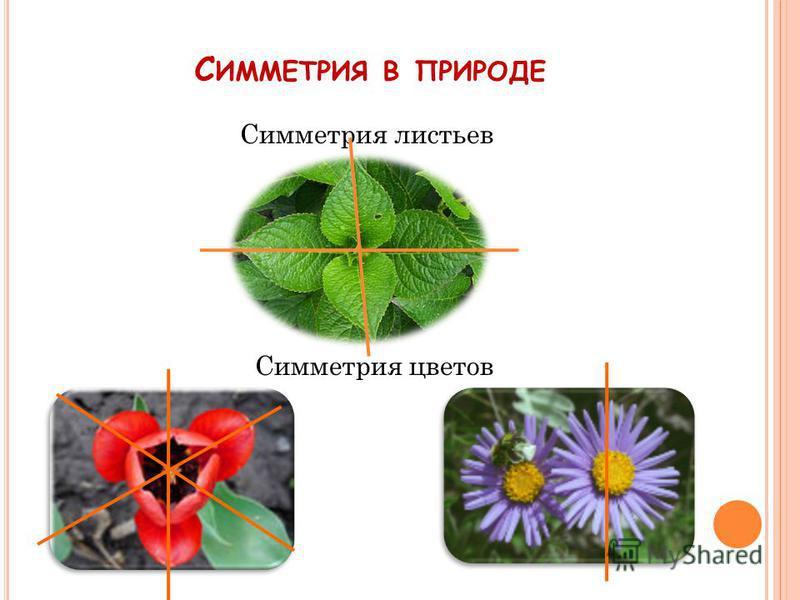С ИММЕТРИЯ В ПРИРОДЕ Симметрия листьев Симметрия цветов