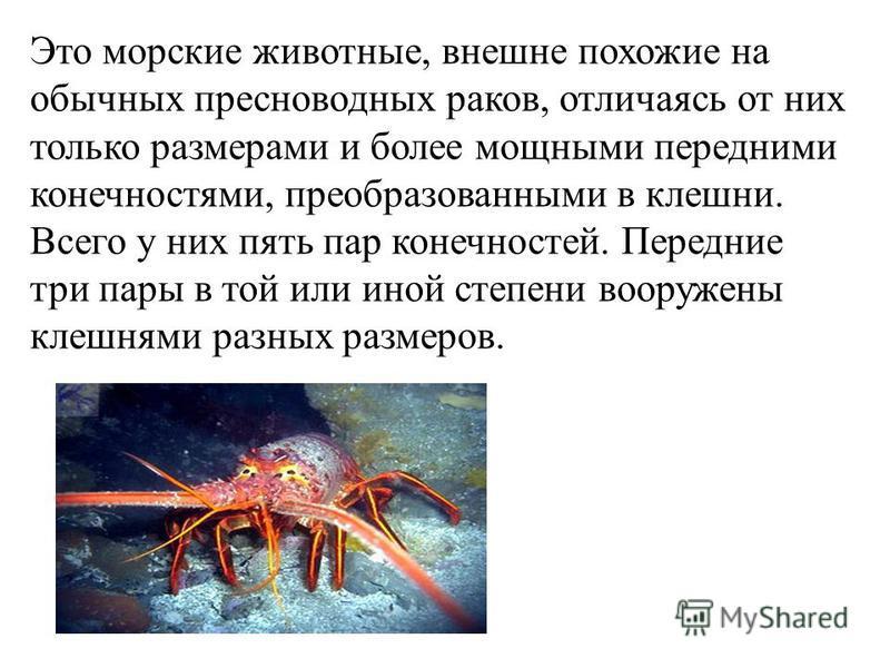 Это морские животные, внешне похожие на обычных пресноводных раков, отличаясь от них только размерами и более мощными передними конечностями, преобразованными в клешни. Всего у них пять пар конечностей. Передние три пары в той или иной степени вооруж
