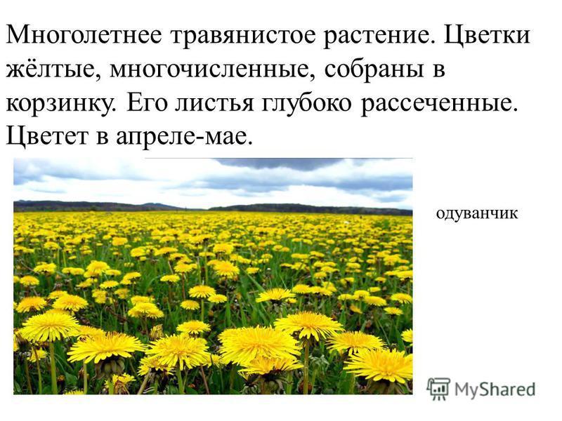 Многолетнее травянистое растение. Цветки жёлтые, многочисленные, собраны в корзинку. Его листья глубоко рассеченные. Цветет в апреле-мае. одуванчик