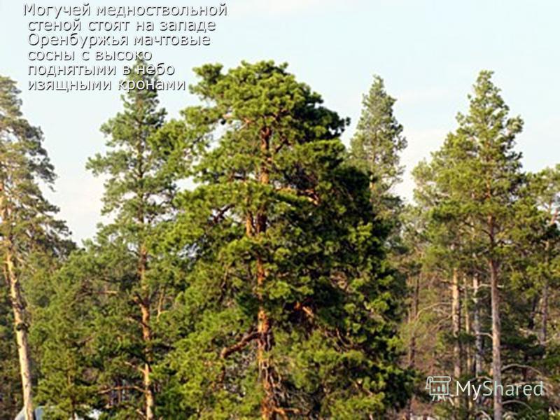 Могучей медно ствольной стеной стоят на западе Оренбуржья мачтовые сосны с высоко поднятыми в небо изящными кронами Могучей медно ствольной стеной стоят на западе Оренбуржья мачтовые сосны с высоко поднятыми в небо изящными кронами