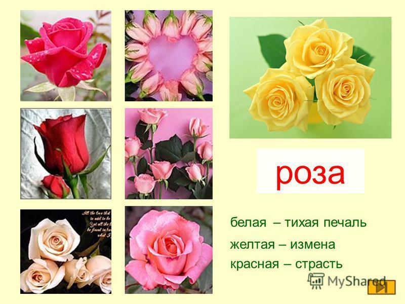 белая – тихая печаль желтая – измена красная – страсть роза