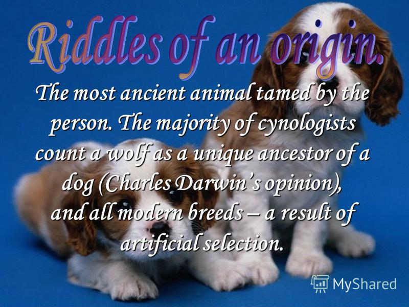 The most ancient animal tamed by the person. The majority of cynologists count a wolf as a unique ancestor of a dog (Charles Darwins opinion), and all modern breeds – a result of artificial selection.