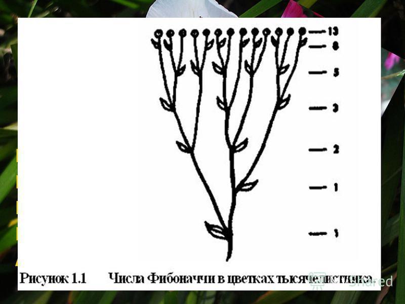 Ирис с 3 лепестками Первоцвет с 5 лепестками Крестовник с 13 лепестками Маргаритка с 34 лепестками Астра с 55 (и 89) лепестками.