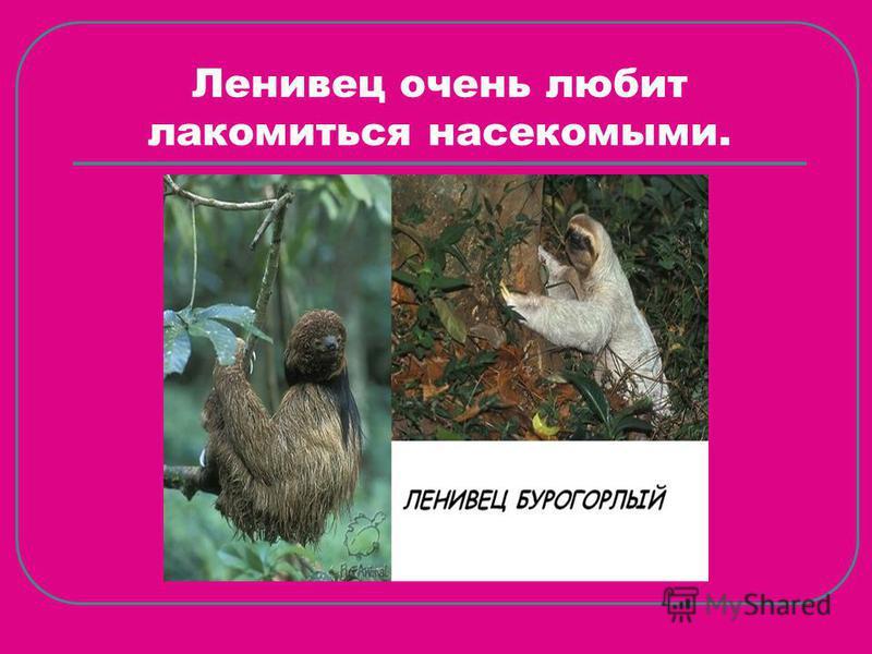 Ленивец очень любит лакомиться насекомыми.