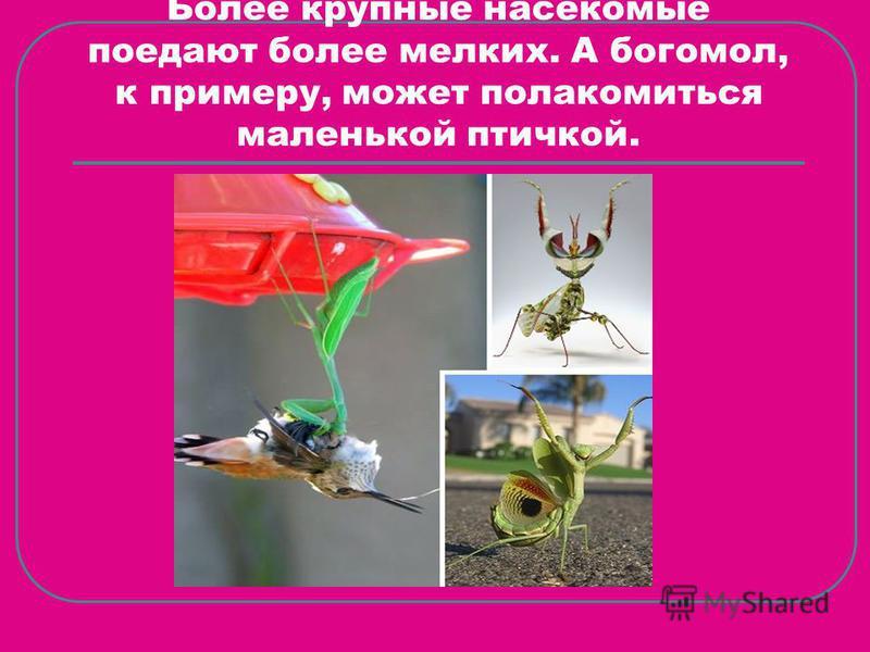 Более крупные насекомые поедают более мелких. А богомол, к примеру, может полакомиться маленькой птичкой.