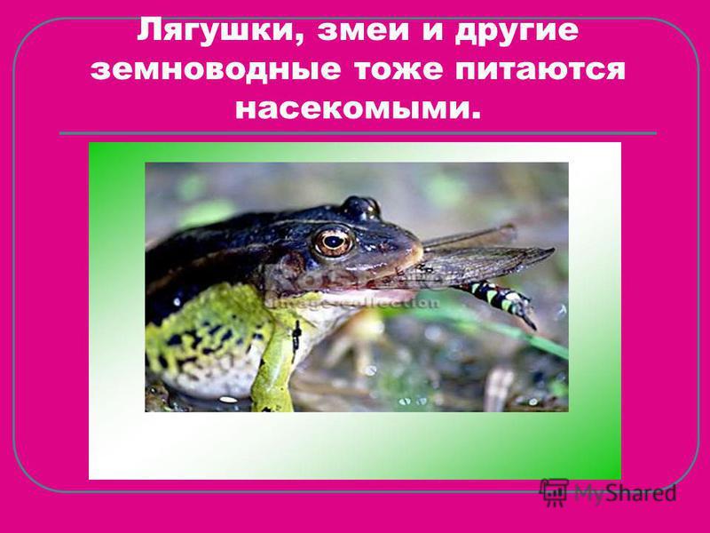 Лягушки, змеи и другие земноводные тоже питаются насекомыми.