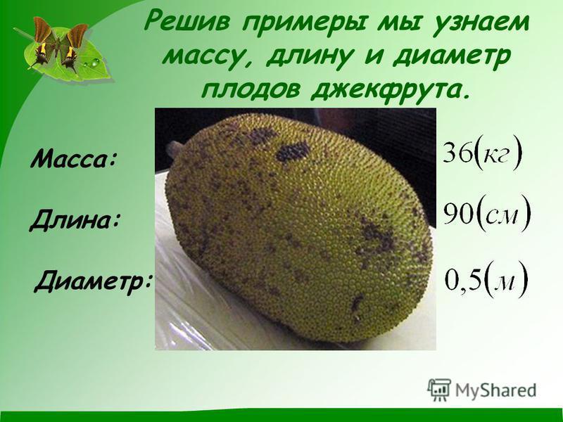 Решив примеры мы узнаем массу, длину и диаметр плодов джекфрута. Масса: Длина: Диаметр: