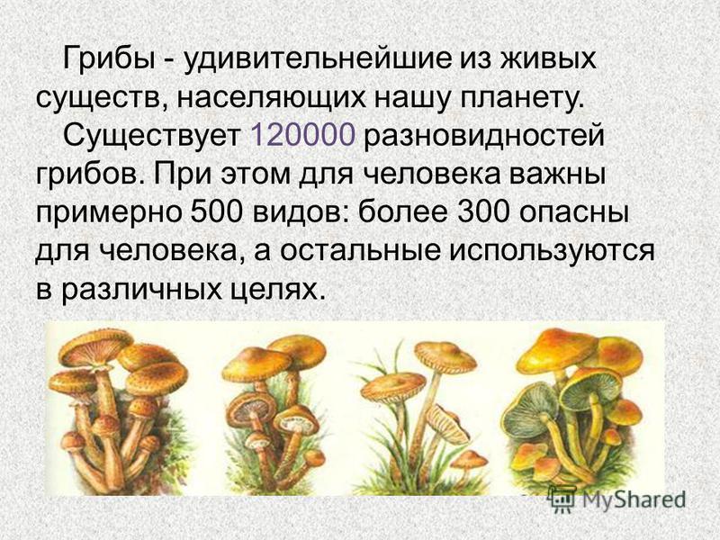 Грибы - удивительнейшие из живых существ, населяющих нашу планету. Существует 120000 разновидностей грибов. При этом для человека важны примерно 500 видов: более 300 опасны для человека, а остальные используются в различных целях.