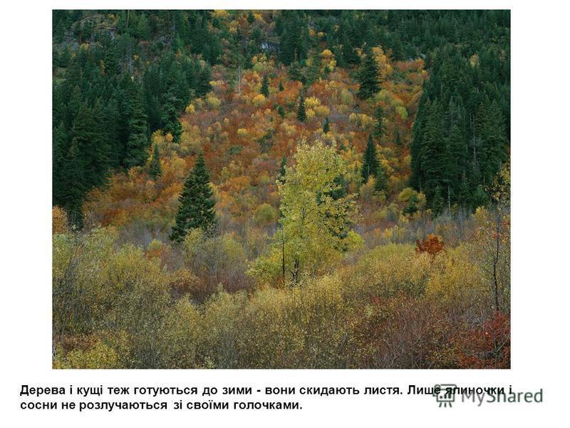 Дерева і кущі теж готуються до зими - вони скидають листя. Лише ялиночки і сосни не розлучаються зі своїми голочками.