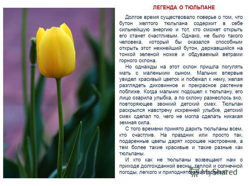 ЛЕГЕНДА О ТЮЛЬПАНЕ Долгое время существовало поверье о том, что бутон желтого тюльпана содержит в себе сильнейшую энергию и тот, кто сможет открыть его станет счастливым. Однако, не было такого человека, который бы оказался способным открыть этот неж