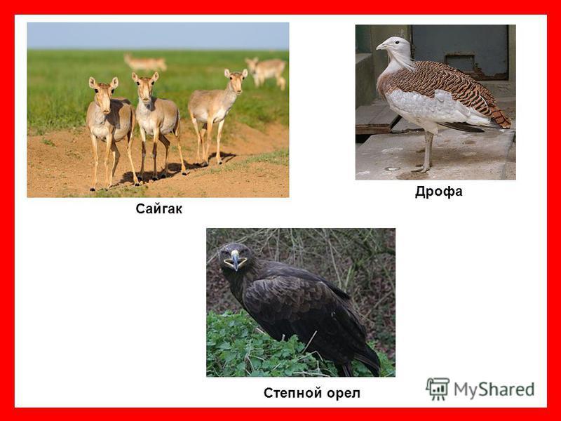 Сайгак Дрофа Степной орел