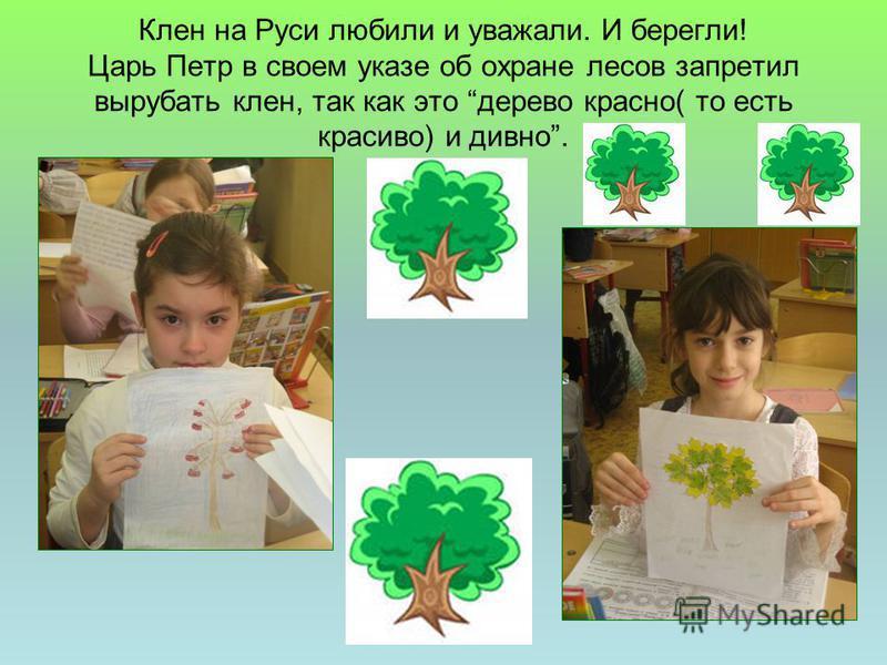 Клен на Руси любили и уважали. И берегли! Царь Петр в своем указе об охране лесов запретил вырубать клен, так как это дерево красно( то есть красиво) и дивно.